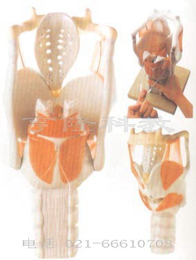 医学解剖模型|喉结构与功能放大模型